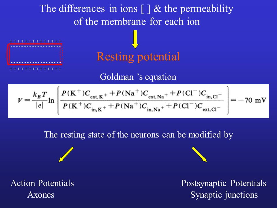 Resting potential The differences in ions [ ] & the permeability